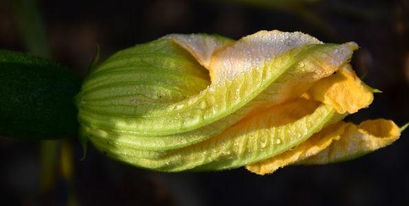 Flor de calabaza: aplicación en la cocina y beneficios para la salud