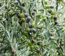 Túnez, potencia en aceite de oliva